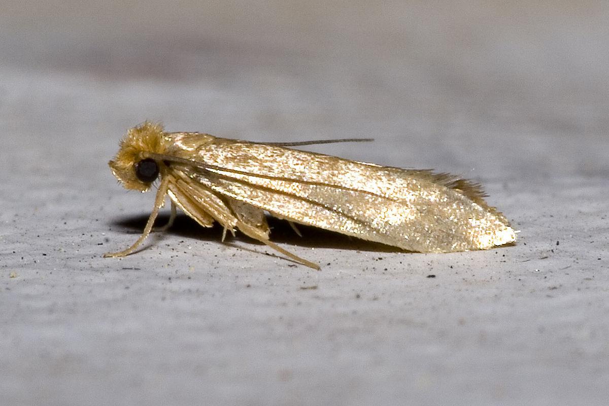 Linen Moth – Tineola Bisselliella